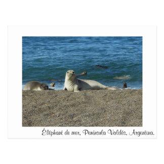 Sea elephant postcard