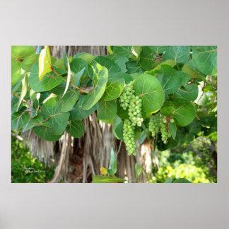 Sea Grapes Tree Leaves Vine Poster