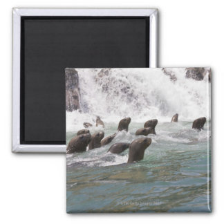 Sea lions attracted into the water to watch magnet