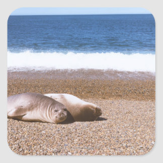 Sea Lions Resting on Beach Square Sticker