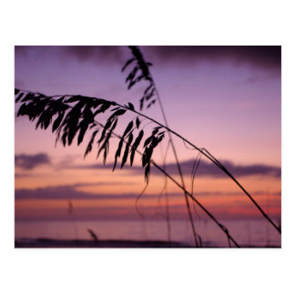 Sea Oats in North Carolina Postcard