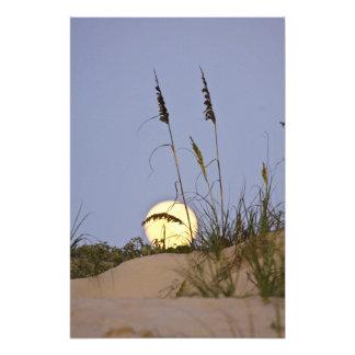 Sea Oats Uniola paniculata) growing on sand Photo