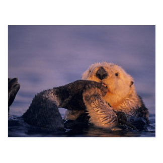Sea Otter, Enhydra lutris Postcard