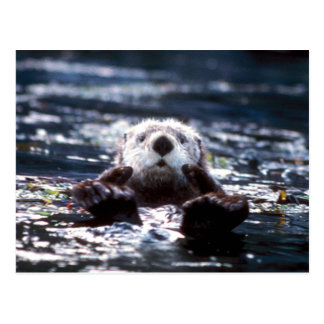 Sea Otter Swimming Postcard