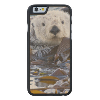 Sea otter wrapped in kelp carved® maple iPhone 6 case