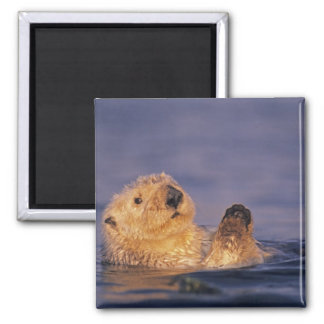 Sea Otters, Enhydra lutris 2 Square Magnet