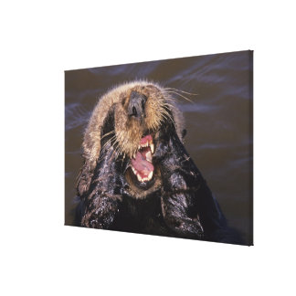 Sea Otters, Enhydra lutris 6 Stretched Canvas Print
