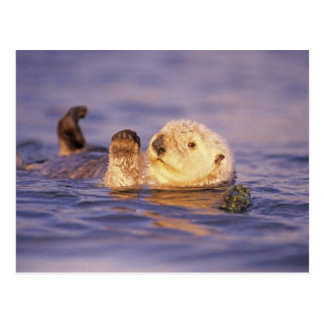 Sea Otters, Enhydra lutris Postcard
