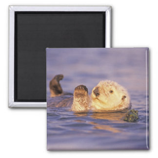 Sea Otters, Enhydra lutris Square Magnet