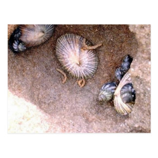 Sea Snails and Barnacles Postcard