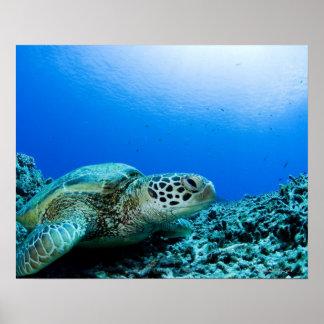Sea turtle resting underwater poster
