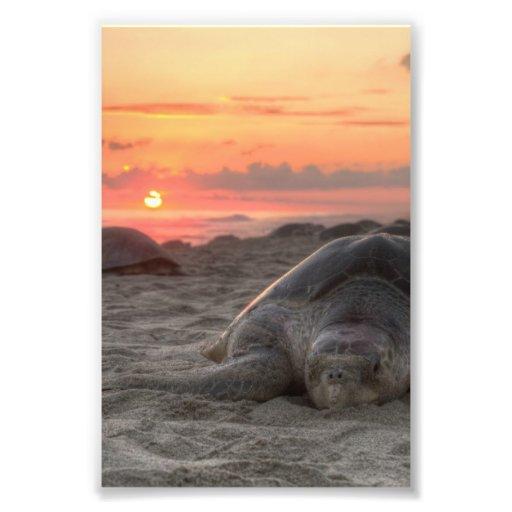 Sea Turtles at Sunset Photo Print