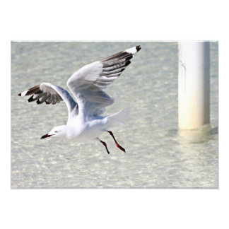 Seagull Rottnest Island Western Australia Photo Print