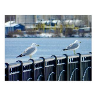 Seagulls At The Bangor Waterfront Post Card