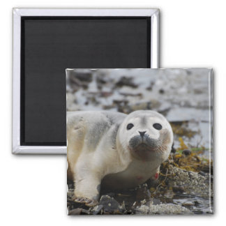 Seal Pup Magnet Fridge Magnets