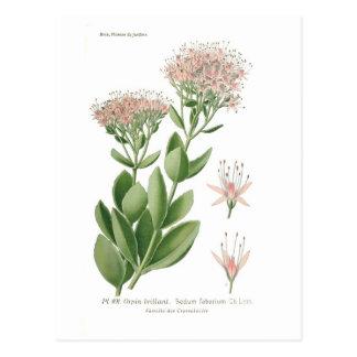 Sedum fabarium postcard
