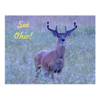 See Ohio ! (Whitetail Buck) Postcard