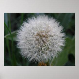 Seeding Dandelion Flower Poster