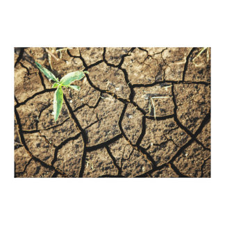 Seedling In Cracked Earth Stretched Canvas Print