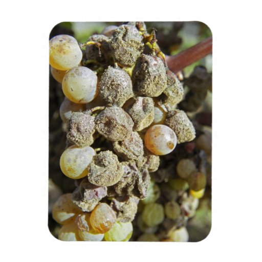 Semillon grapes with noble rot. at harvest time rectangle magnets