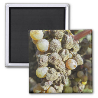 Semillon grapes with noble rot. at harvest time square magnet