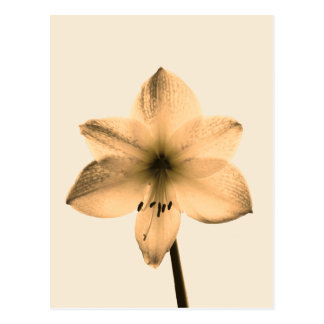 sepia amaryllis postcard