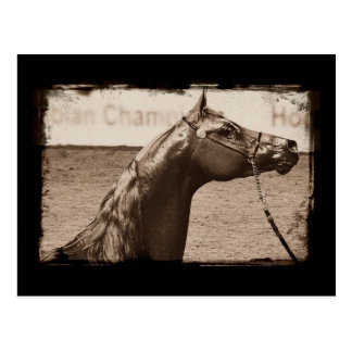 Sepia Arabian Stallion Postcard