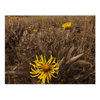 Sepia tone Yellow wildflowers Post Card