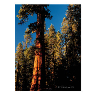 Sequoia National Park , California 2 Postcard