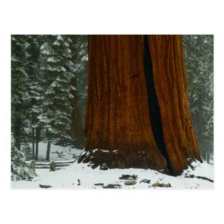 Sequoia Tree in Winter Postcard