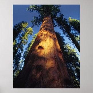 Sequoia trees poster