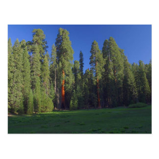Sequoias Meadows Trees Green Sunrise Postcard