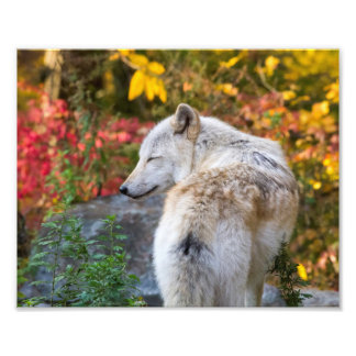 Serene Autumn Wolf Photo Print
