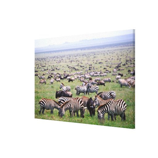 Serengetti Plains full of herds of Zebras and Canvas Prints