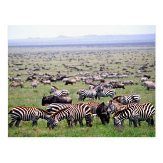 Serengetti Plains full of herds of Zebras and Postcard