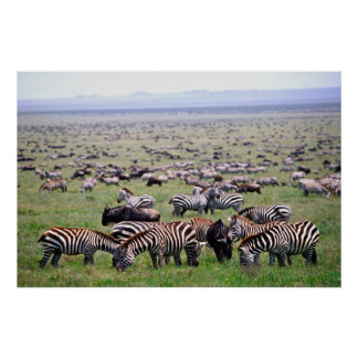 Serengetti Plains full of herds of Zebras and Poster