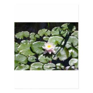 Series water lily postcards