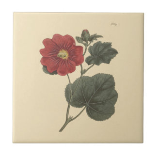 Seringapatam Hollyhock Botanical Illustration Small Square Tile