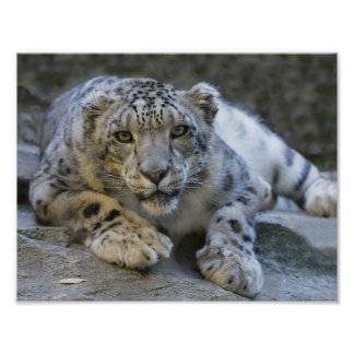 Serious Snow Leopard Poster