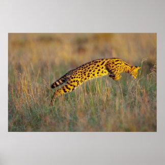 Serval Cat (Leptailurus serval) Jumping On Prey Poster