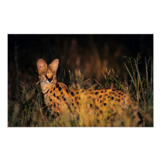 Serval (Leptailurus Serval) In Long Grass Poster