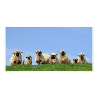 seven curious rasta sheep picture card
