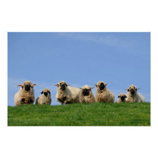 seven curious rasta sheep poster
