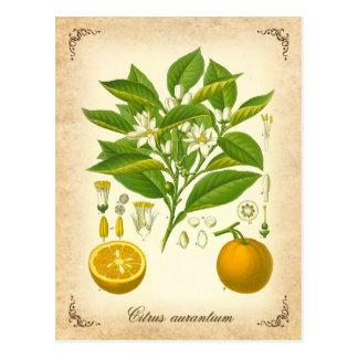 Seville orange - vintage illustration postcard