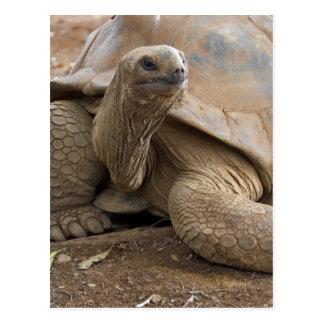 Seychelle Aldabran land tortoise Postcard