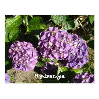 Shades of Purple Hydrangea Postcard