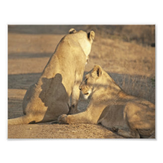 SHADOW LIONS PHOTO PRINT