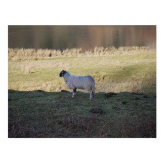Shady Sheep Postcard