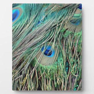 Shaggy Peacock Eye Feathers Display Plaques