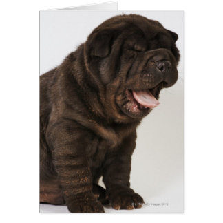 Shar Pei puppy yawning, studio shot Card